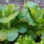 2018年春の家庭菜園その1 ~白菜とレタスを収穫しました~