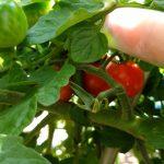 2018年の家庭菜園その4 ~茄子とトマトが良い感じです~