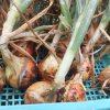 2021年春~初夏の家庭菜園 ~玉ねぎが無事に収穫出来ました、他も無事に生長しています~